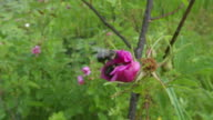 Bumble bees confrontation inside swamp rose, real time, wide angle