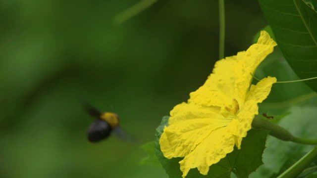 Bumblebee Fly On Flower Slow