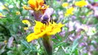 Bumblebee gathering pollen