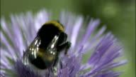 Bumblebee