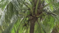 Bunch of coconuts on palm tree