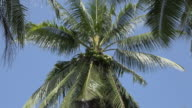ZO / Bunch of coconuts on palm tree