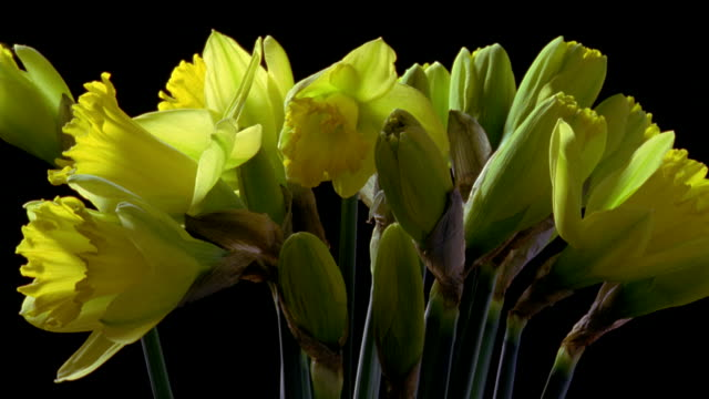 CU T/L bunch of daffodil flowers opening, rotating