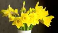 CU T/L Bunch of daffodils blossoming / Germany