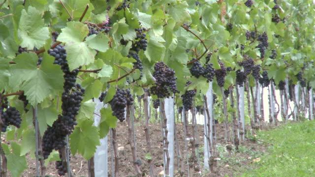 MS Bunch of grapes at vineyard / Nittel, Rhineland-Palatinate,  Germany