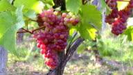 MS Bunch of grapes in vineyard / Saarburg, Rhineland Palatinate, Germany
