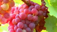 CU Bunch of grapes in vineyard / Saarburg, Rhineland Palatinate, Germany