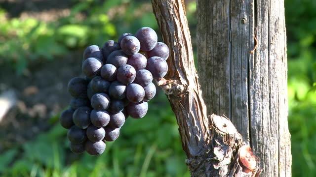 CU ZO Bunch of grapes in vineyard / Saarburg, Rhineland Palatinate, Germany