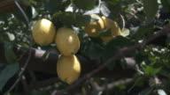 CU Bunch of lemons hanging on tree / Amalfi, Campania, Italy