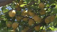 CU Bunch of lemons hanging on tree / Amalfi, Campania, Italy
