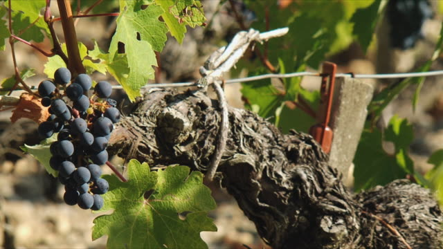 CU Bunch of red grapes in vineyard / Bordeaux, Gironde, France