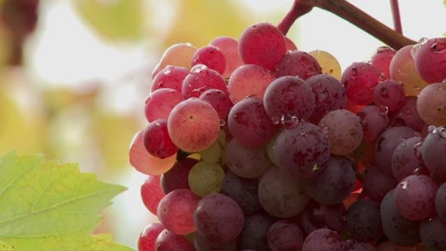 CU Bunch of red grapes / Saarburg, Rheinland-Pfalz, Germany