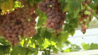MS PAN Bunches of red grapes hanging from vines / South Africa