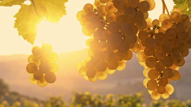 DS Bunches of white grapes at sunrise