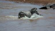 Burchell'S Zebra Crossing Mara River Maasai Mara  Kenya  Africa