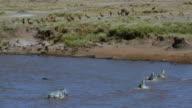Burchell'S Zebra Crossing Mara River & Thomson'S Gazelles Drinking Maasai Mara  Kenya  Africa