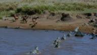 Burchell'S Zebra Crossing Mara River & Topi Watching Maasai Mara  Kenya  Africa