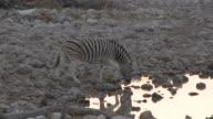 Burchell's Zebra (Equus quagga burchellii) drinking, Etosha National Park, Namibia