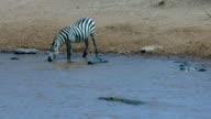 Burchell'S Zebra Drinking In Mara River Near Crocodile Maasai Mara  Kenya  Africa