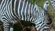 Burchell'S Zebra Ears & Eye Nairobi  Kenya  Africa
