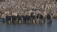 Burchell's Zebra (Equus quagga burchellii), Etosha National Park, Namibia