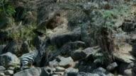 Burchell'S Zebra Grazing In Rocks Maasai Mara  Kenya  Africa