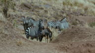 Burchell'S Zebra Greeting & Observing Maasai Mara  Kenya  Africa
