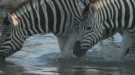 Burchell's Zebra (Equus quagga burchellii) herd drinking at waterhole, Etosha National Park, Namibia