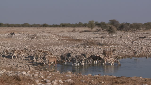 Burchell's Zebra (Equus quagga burchellii) herd drinking at waterhole, Etosha National Park, Namibia