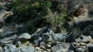Burchell'S Zebra Observing In Rocks Maasai Mara  Kenya  Africa