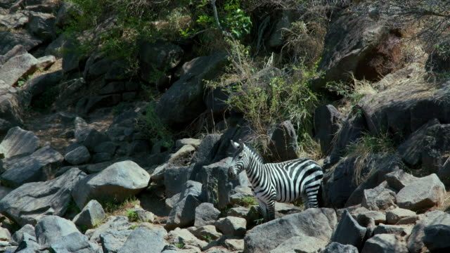 Burchell'S Zebra Observing In Rocks Maasai Mara  Kenya  Africa