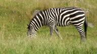 burchell's zebra,