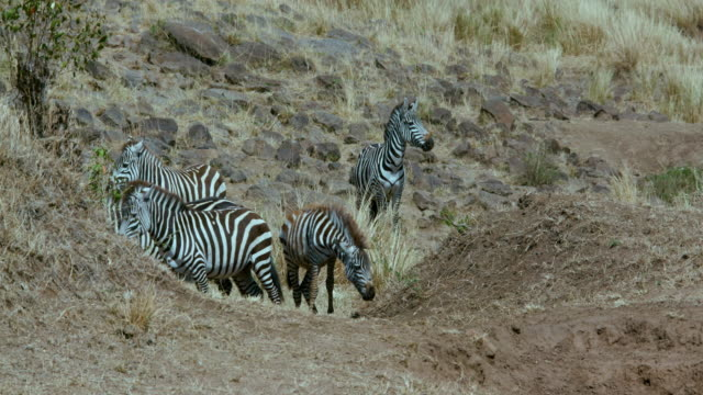 Burchell'S Zebra Walking & Observing Maasai Mara  Kenya  Africa