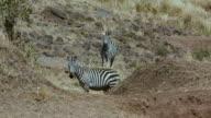 Burchell'S Zebra Walking & Observing Maasai Mara  Kenya  Africa
