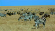 Burchell'S Zebras & Blue Wildebeest Grazing Maasai Mara  Kenya  Africa