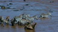 Burchell'S Zebras Cross Mara River Maasai Mara  Kenya  Africa