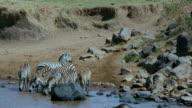Burchell'S Zebras Drinking In Mara River Maasai Mara  Kenya  Africa