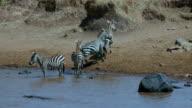 Burchell'S Zebras Drinking In Mara River Near Crocodile Maasai Mara  Kenya  Africa