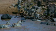 Burchell'S Zebras Exit Mara River Maasai Mara  Kenya  Africa