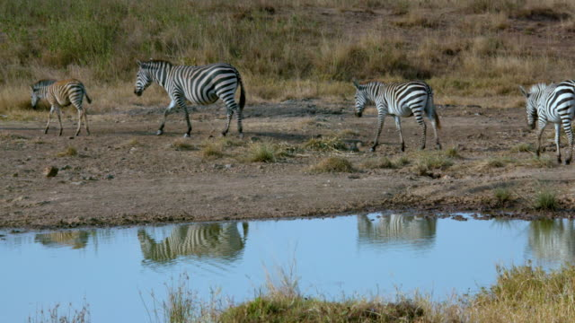 Burchell'S Zebras Walking At Waterhole Nairobi  Kenya  Africa