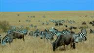Burchell'S Zebras Walking & Blue Wildebeest Grazing Maasai Mara  Kenya  Africa
