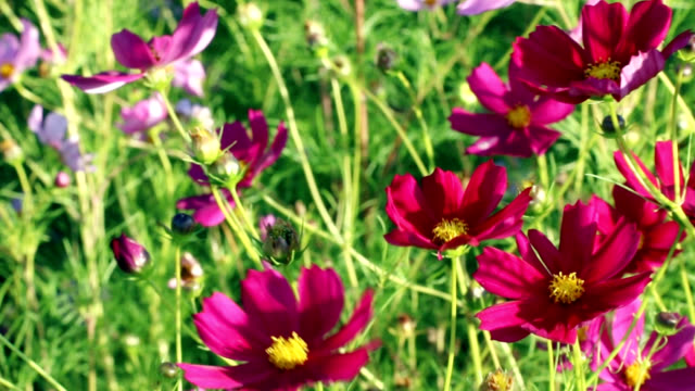 Burgundy wildflowers in the wind. Uncultivated meadow