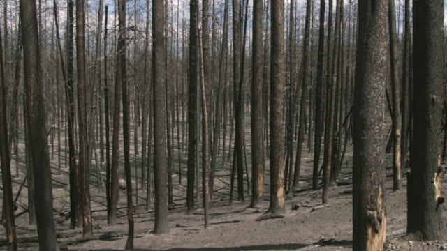 WS PAN Burned tree trunks in forest / Yellowstone, Wyoming, USA