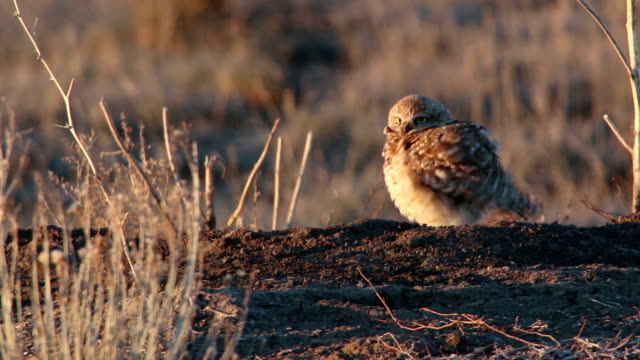 Burrowing owl fluffs feathers on burrow Monticello Utah