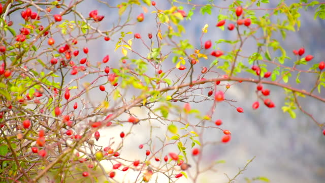 bush with ripe rose hips