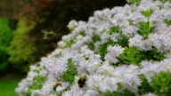 Busy Bee's hard at work gathering pollen and nectar from thousands of small white flowers