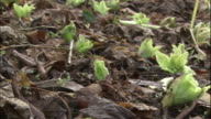 Butterbur sprouts cover the ground.