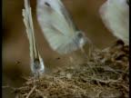 CU Butterflies feeding on rhino dung, India