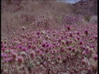 Butterflies flutter over field of pink flowers that have blossomed after rains, Australia