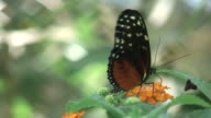 Butterfly 14 - HD 1080/60i